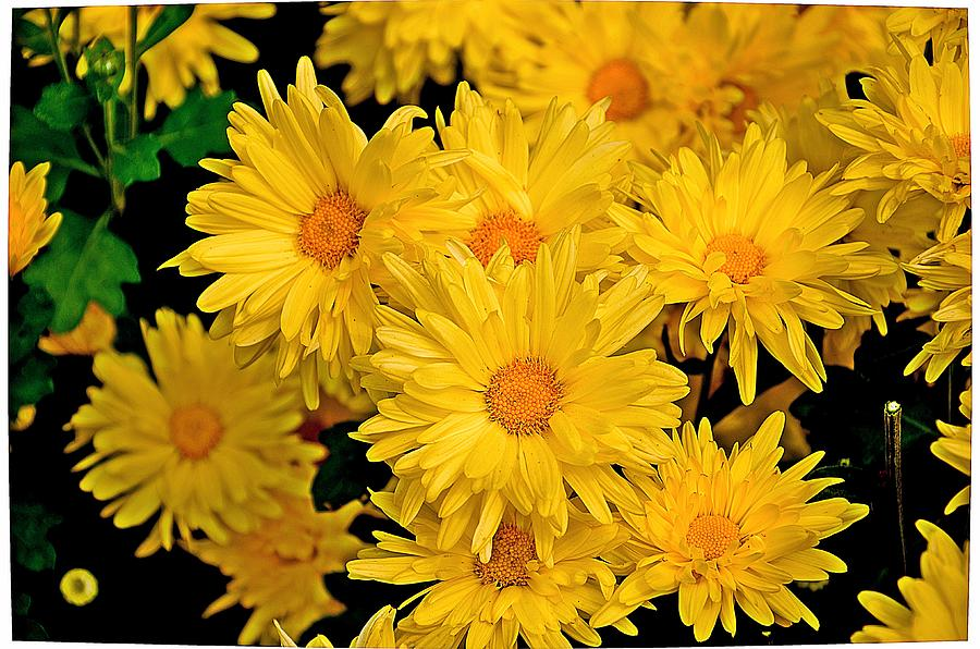 Yellow Chrysanthemum Flowers 1 Photograph by Johnson Moya Flower Photograph   Yellow Chrysanthemum Flowers 1 by Johnson Moya