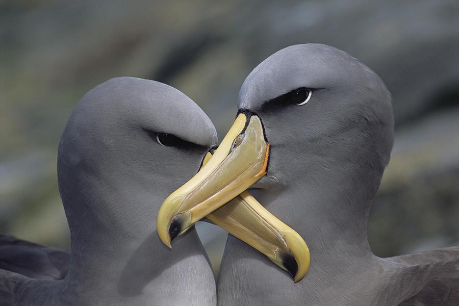 https://i2.wp.com/images.fineartamerica.com/images-medium-large/2-chatham-albatross-thalassarche-eremita-tui-de-roy.jpg