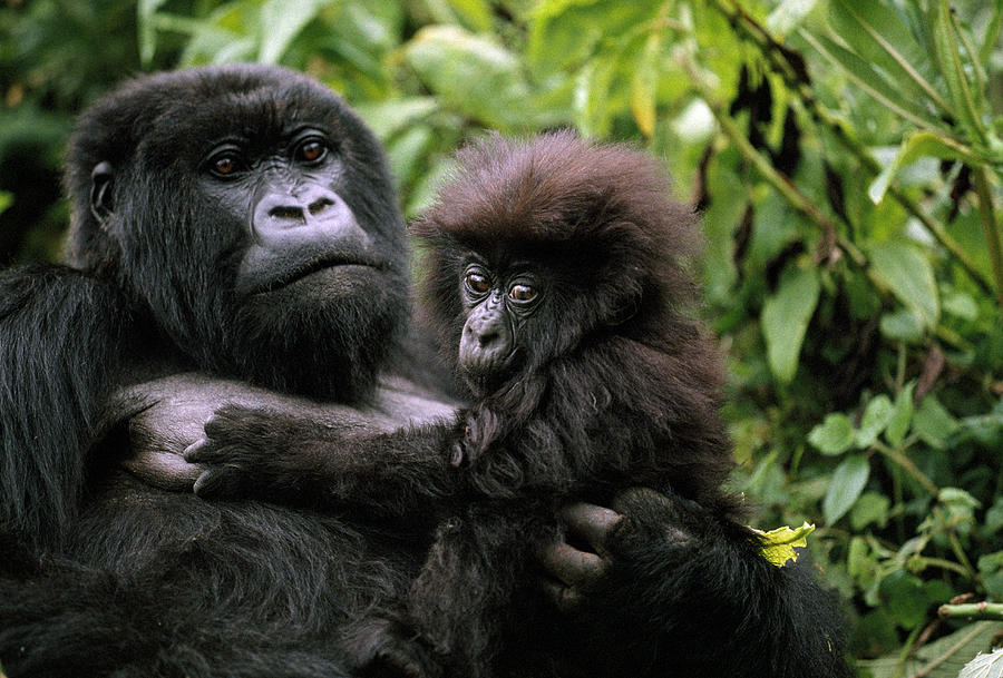 https://i2.wp.com/images.fineartamerica.com/images-medium-large/a-female-mountain-gorilla-and-her-child-michael-nichols.jpg