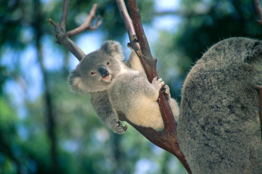 baby koala bear by himani printscapes