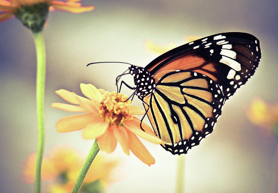 Butterfly On Flower Photograph By Sam Gellman Photography