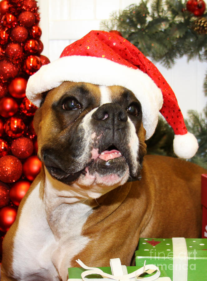 Christmas Portraits Boxer Photograph By Renae Crevalle