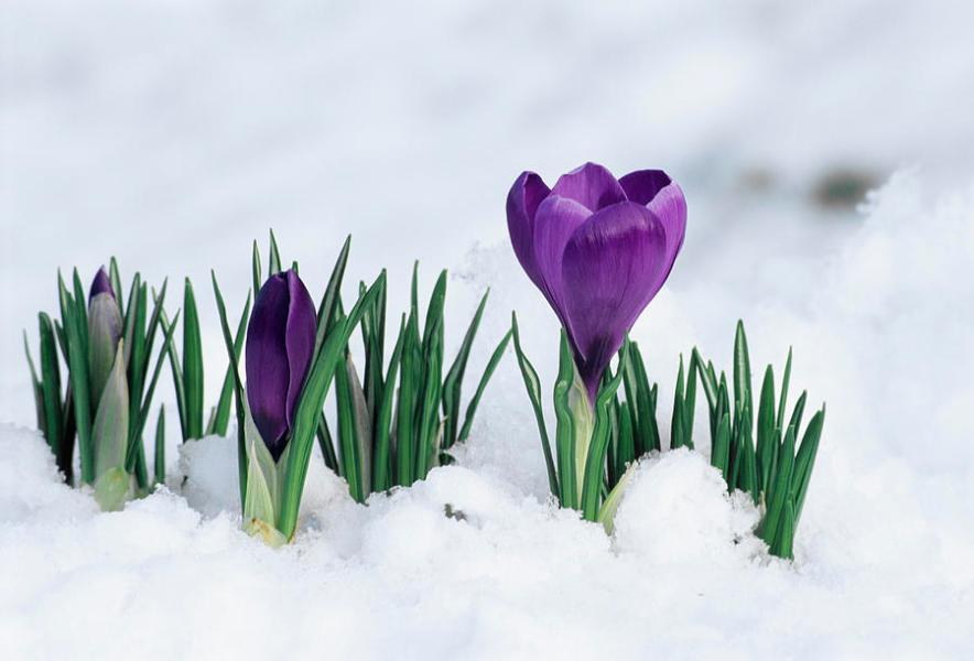 Crocus Flower In The Snow Photograph by David Aubrey Crocus Photograph   Crocus Flower In The Snow by David Aubrey