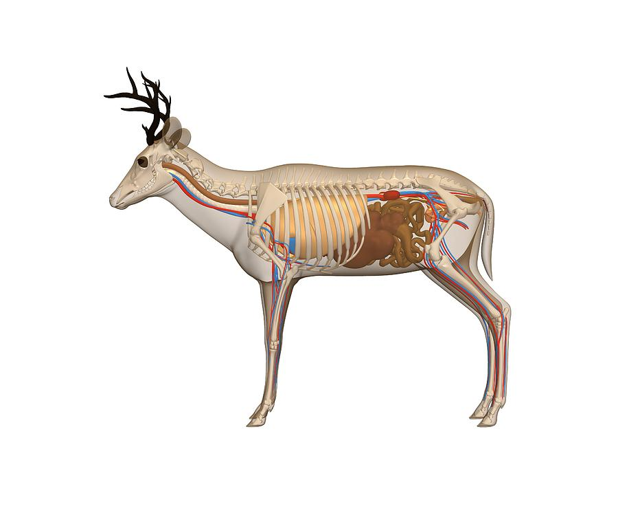 Colorful White Tailed Deer Anatomy Photos - Human Anatomy Images ...