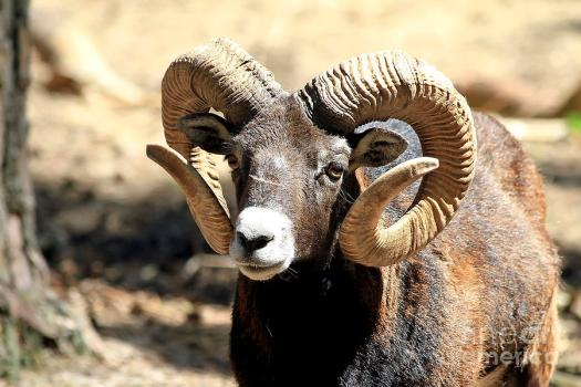 European Big Horn - Mouflon Ram Photograph by Teresa Zieba