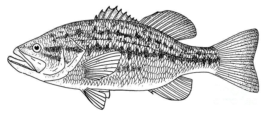 largemouth bass drawing largemouth bass photograph