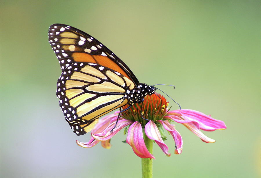 Monarch Butterfly On Flower Photograph By Greg Adams