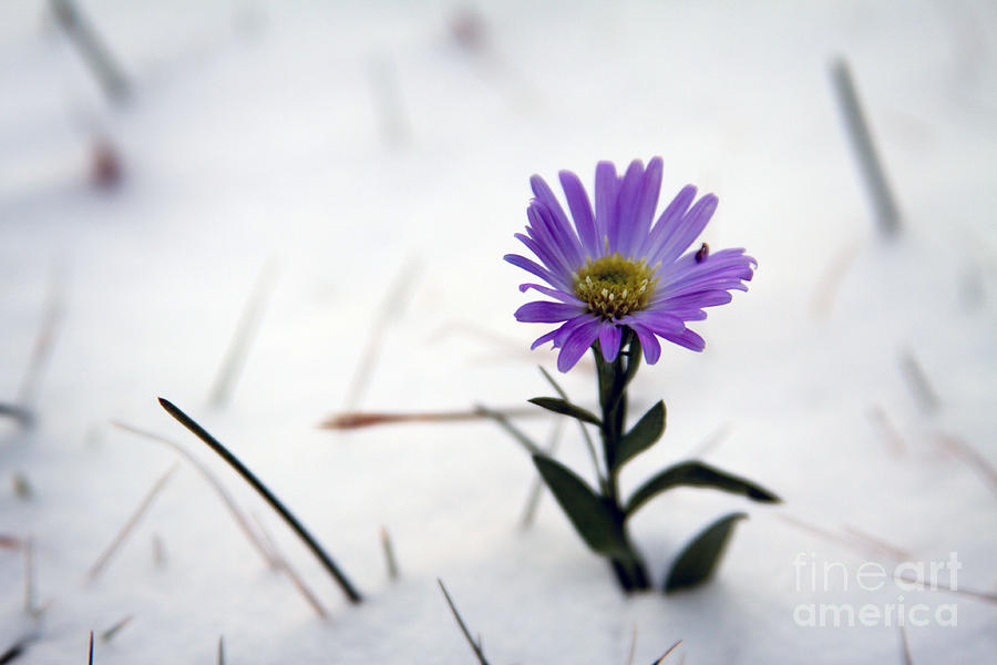 Purple Flower In Snow Photograph by Becca Francis Purple Photograph   Purple Flower In Snow by Becca Francis