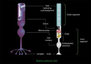 Retinal Rod Cell Anatomy, Diagram Photograph by Francis Leroy, Biocosmos