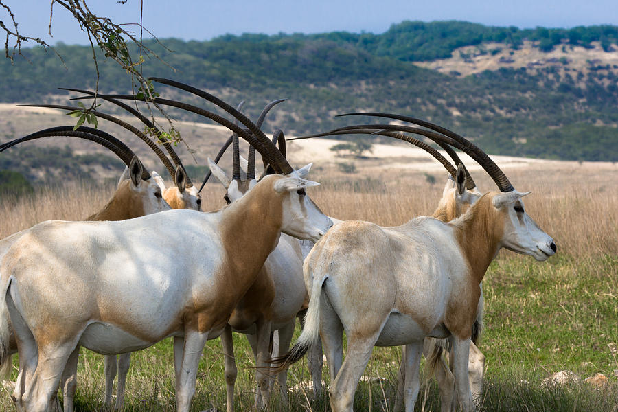 https://i2.wp.com/images.fineartamerica.com/images-medium-large/scimitar-horned-oryx-ed-gleichman.jpg