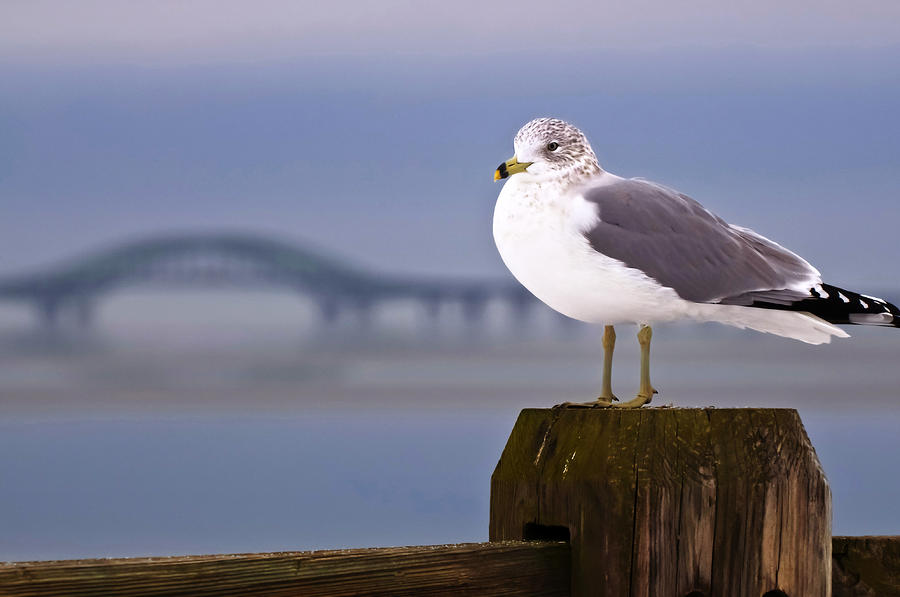 Seagull In The Foreground Robert Moses Bridge In The Background Photograph By Vicki Jauron