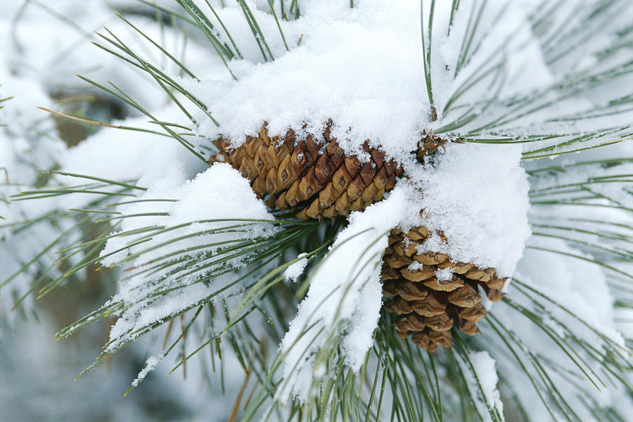 Snow Covers A Bundle Of Pine Needles Photograph By Rich Reid