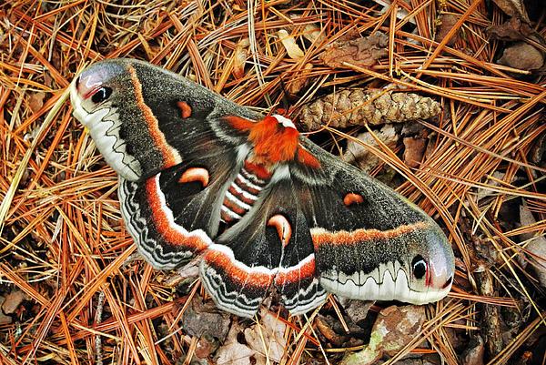 Cecropia Moth Art Prints for Sale