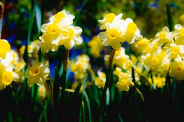 glowing daffodils