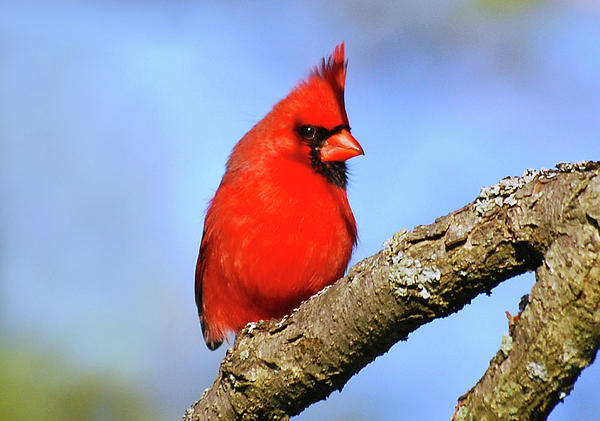 Northern Cardinal Art Prints for Sale