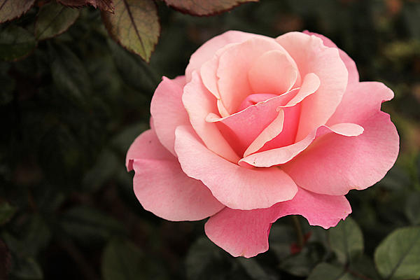 https://i2.wp.com/images.fineartamerica.com/images-medium/pastel-pink-rose-in-bloom-sarah-broadmeadow-thomas.jpg