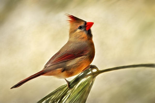 Winter Cardinal Art Prints for Sale