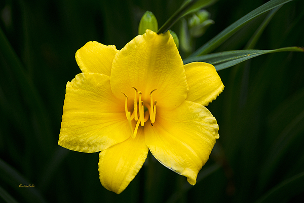 Yellow Daylily Flower Art Prints for Sale