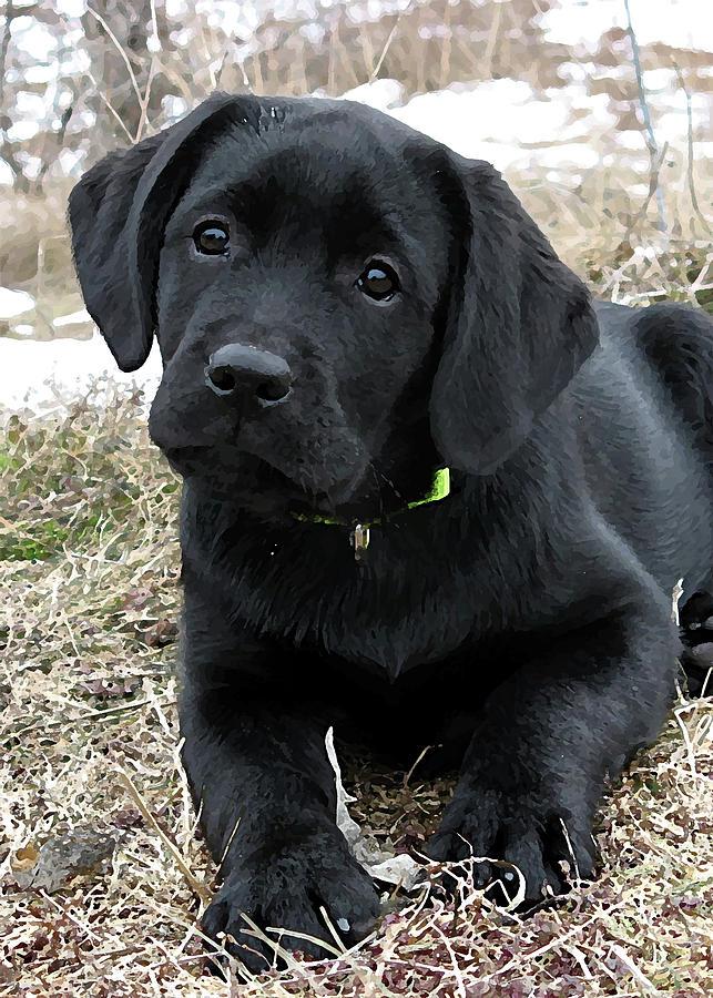 Awaiting Spring Black Lab Puppy Photograph By Black Dog