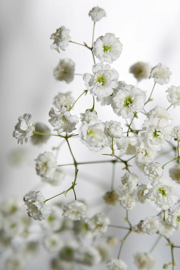 Baby Breath Flowers Photograph By Masha Batkova