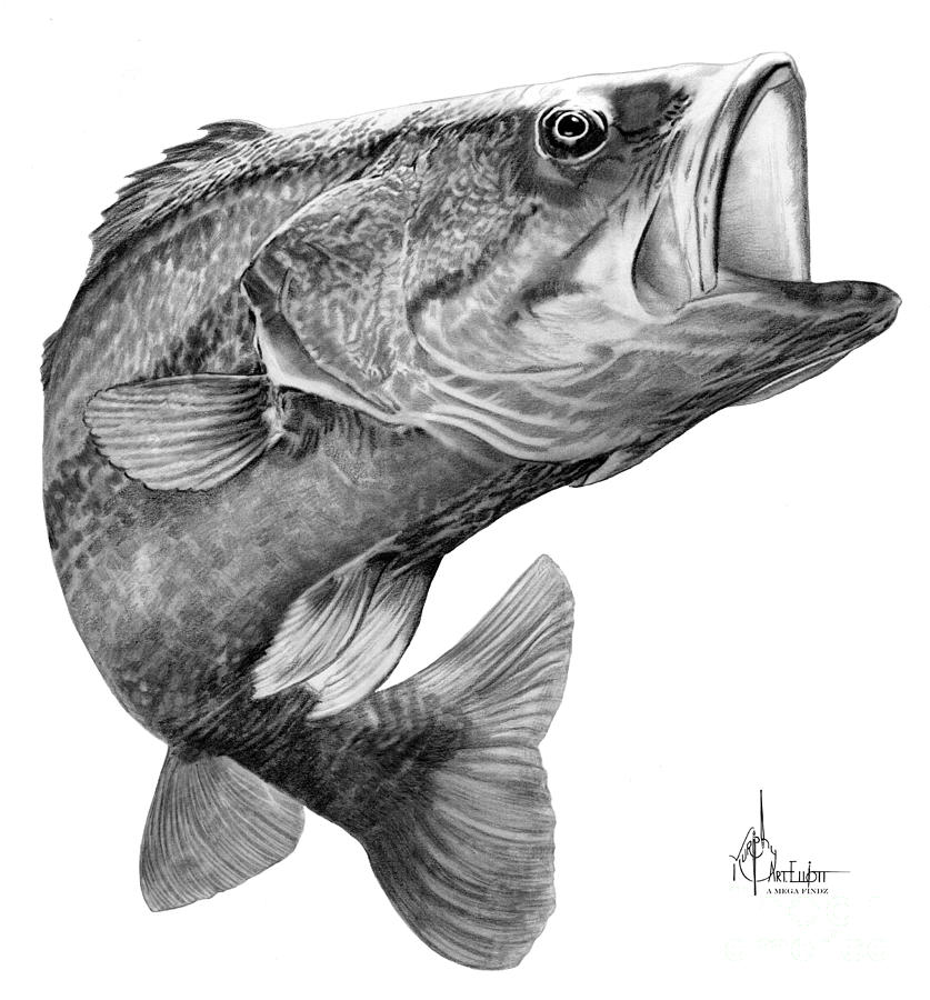 Bass Drawing Drawing By Murphy Elliott