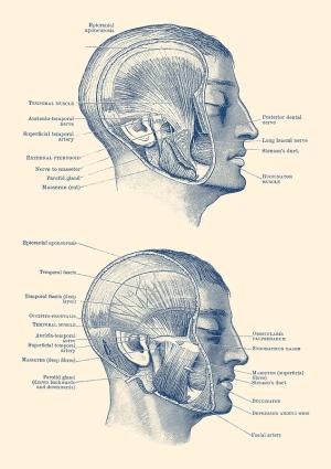 Face Muscular Diagram  Dual Side View  Vintage Print