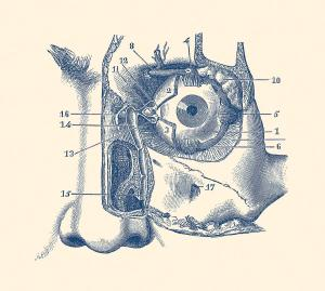 Human Eye And Tear Duct Diagram  Vintage Anatomy Drawing