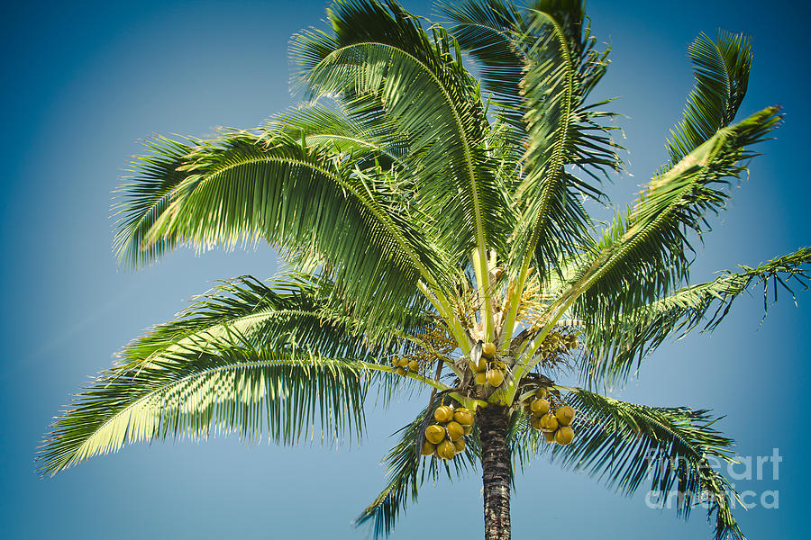 Keanae Hawaiian Coconut Palm Maui Hawaii Photograph By