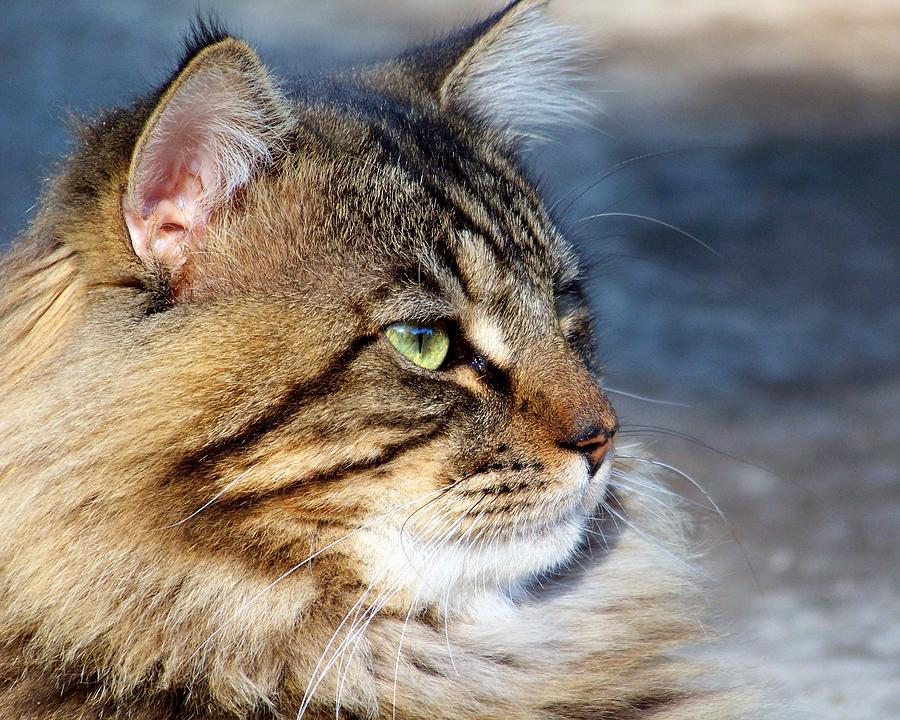 Maine Coon II Photograph By Jai Johnson