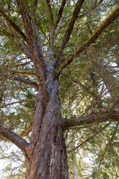 Image result for pacific yew tree