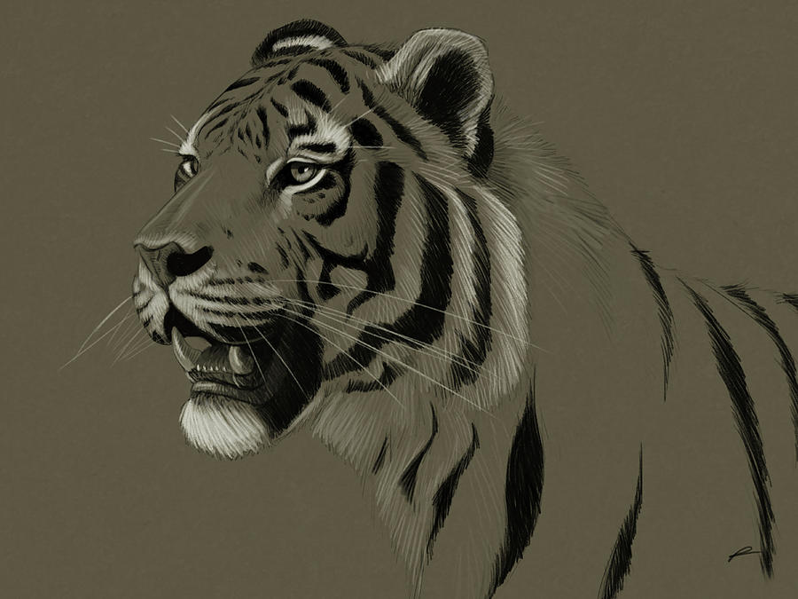 Tiger Toned Sketch Drawing By Norman Rawn