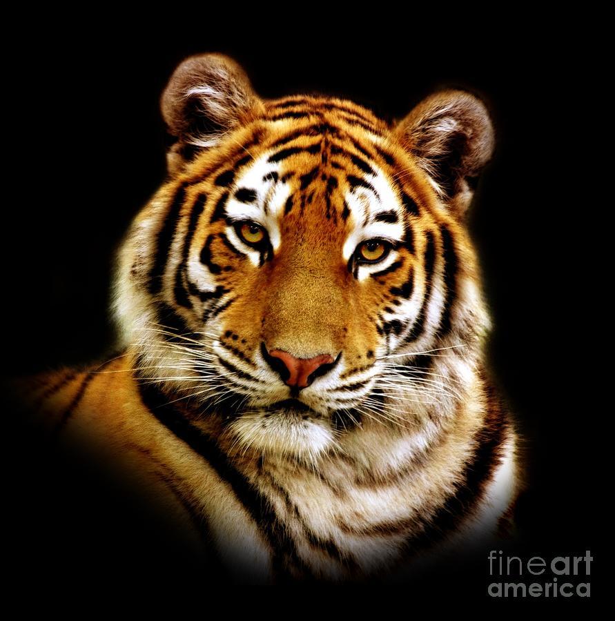 tiger photographjacky gerritsen