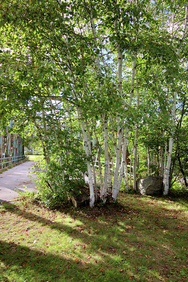 White Birch Trees Photograph By Robert Mcculloch