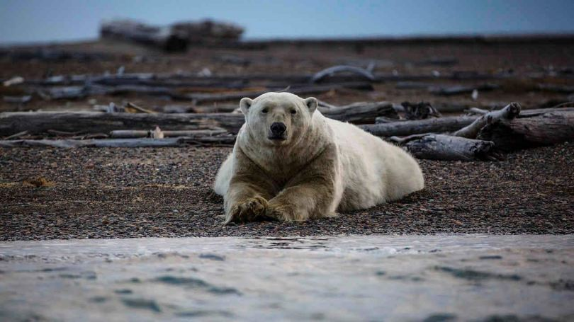 Unabated global warming is driving polar bears toward extinction, say researchers- Technology News, Firstpost