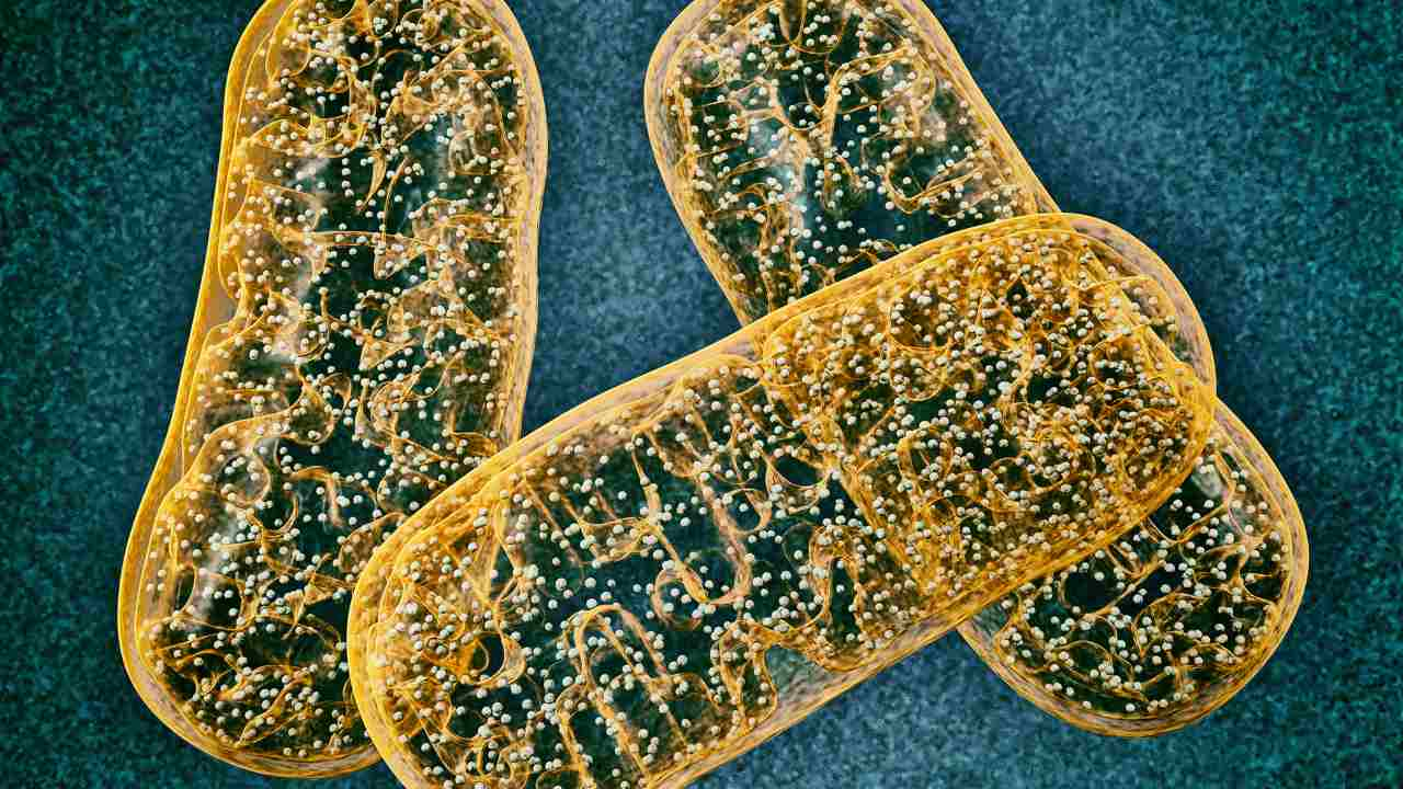Drug used to treat heart failure, high blood pressure may help defy aging by activating mitochondrial stress response