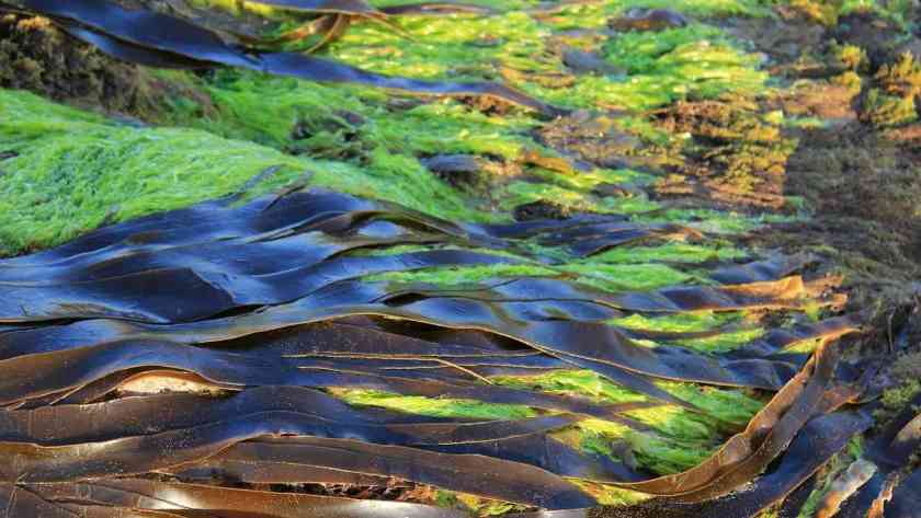Genes of bull kelp algae help researchers trace history of earthquakes in New Zealand