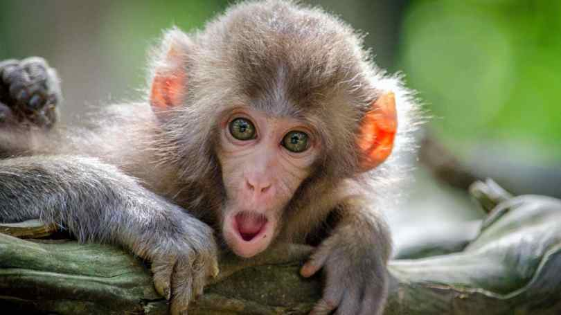Researchers have found that human and monkeys have similar thought patterns- Technology News, Firstpost 2