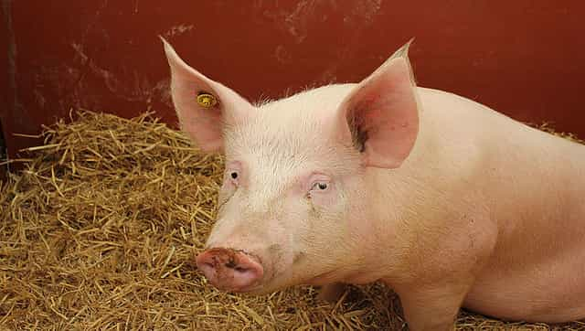 SADS-CoV: Swine acute diarrhea syndrome coronavirus could spread from pigs to humans, claims study