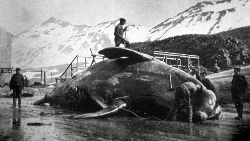 Workmen dissecting a whale carcass in Antarctica, circa 1935. Hulton Archive via Getty Images