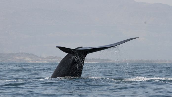 In an undated photo from the Environment Society of Oman, a blue whale in the Indian Ocean. Researchers said that the blue whale song that crackled through the team's underwater recordings was unlike any they had heard. (Robert Baldwin/Environment Society of Oman via The New York Times)