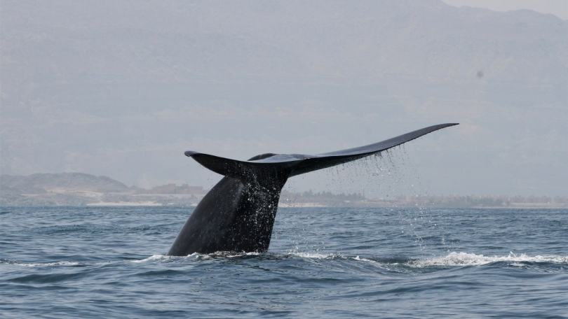 New population of blue whale found in the Indian Ocean, discovered by its unique sound
