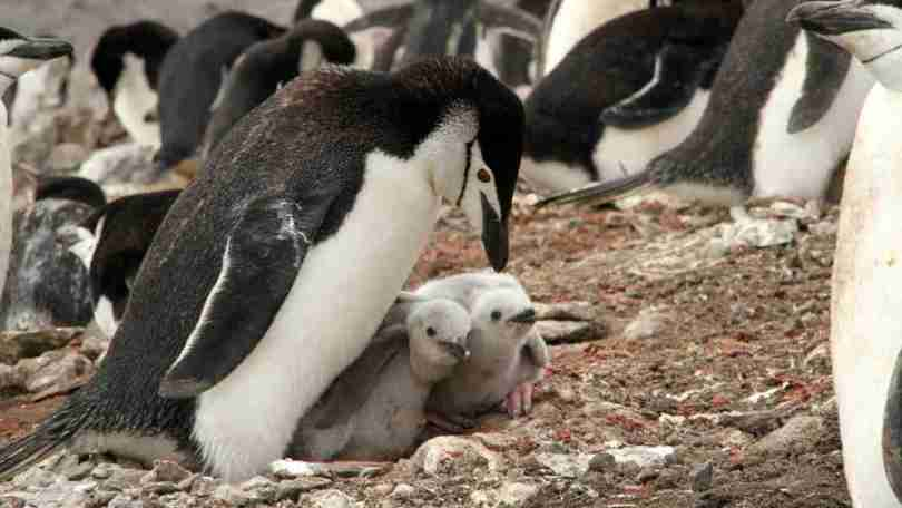 Chinstrap penguins on Deception Island. Many penguins poop in pink, because their diet is rich in krill. Image Credit: Michelle LaRue/Author provided