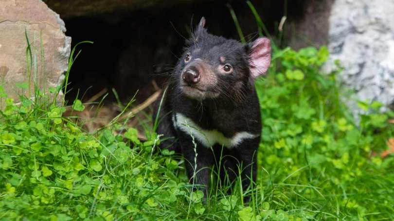 Tasmanian devils born in the wild in Australia for the first time in 3,000 years- Technology News, Gadgetclock