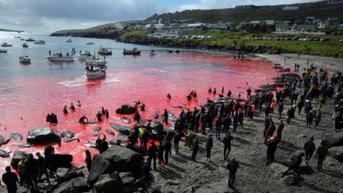 In this file photo taken on May 29, 2019 people gather in front of the sea, coloured red, during a pilot whale hunt in Torshavn, Faroe Islands. Every summer in the Faroe Islands, hundreds of pilot whales and dolphins are slaughtered in drive hunts known as the