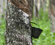 Milk from Rubber Tree for Pure Latex Rubber