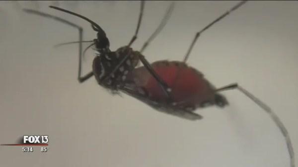 Mosquito-borne dengue fever contracted in Hillsborough County
