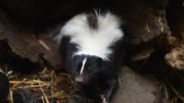 Officials confirm 2 rabies cases in skunks from Southfield, Troy