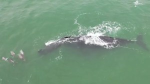 A whale spotted swimming with a calf surrounded by dolphins off the coast of Florida