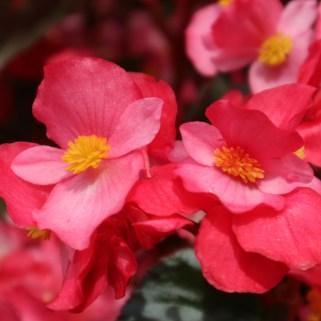 Fleurs Canon