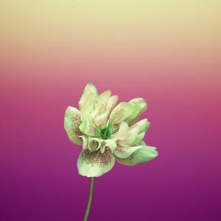 flower_helleborus